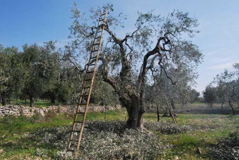 MALTEMPO, COLDIRETTI DENUNCIA: CALA ANCHE IN ABRUZZO LA PRODUZIONE DI OLIO EXTRAVERGINE
