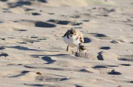 """WWF, """"Salvafratino Abruzzo 2021"""": tre webinar per conoscere dune, fratini e piccoli trampolieri"""