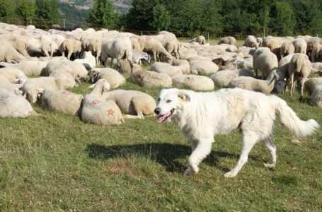 Transumanza patrimonio dell'Unesco ma è SOS pastorizia: mancano un milione di pecore