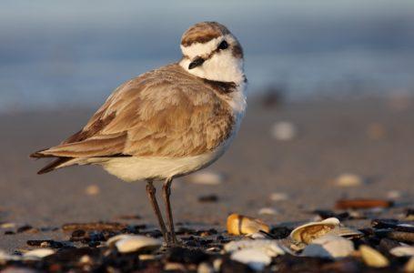Salvafratino Abruzzo, WWF: volontari e guardie ambientali in azione sulla costa