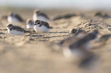 Molo sud di Giulianova, il WWF auspica la creazione di un'area dedicata al fratino