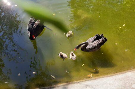 FOTO   Alla Villa Comunale di Teramo nati tre piccoli di cigno nero