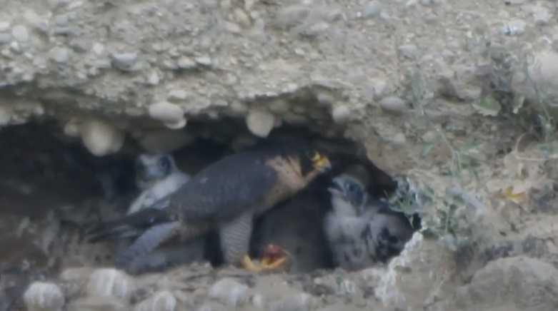 VIDEO   Mamma falco imbecca i suoi pulcini, SOA: trend della popolazione in aumento per specie protetta