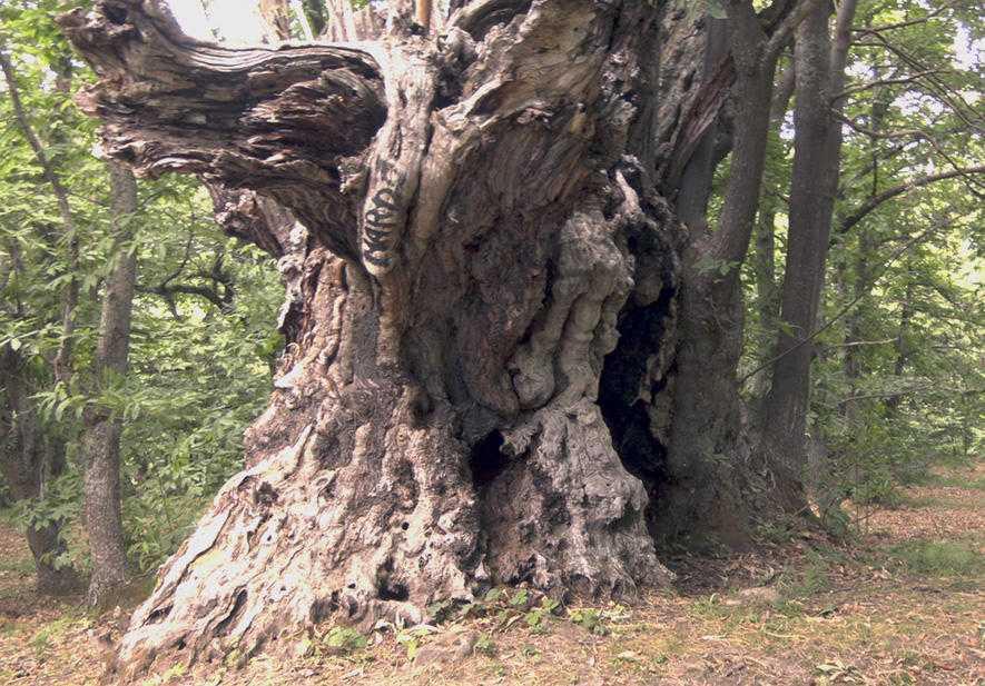 """E' di Valle Castellana il castagno più grande: 14 metri di altezza. E' in finale al """"Tree of the Year 2021"""""""