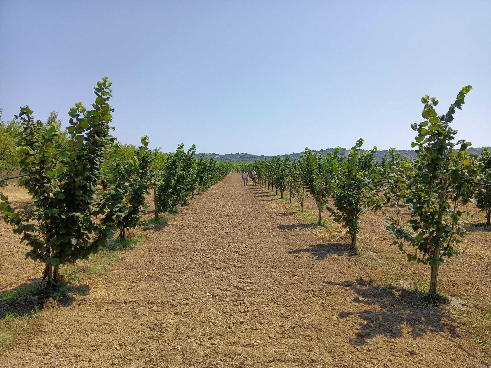 Le nocciole del teramano nella filiera della Nutella: si cercano terreni e agricoltori per le coltivazioni